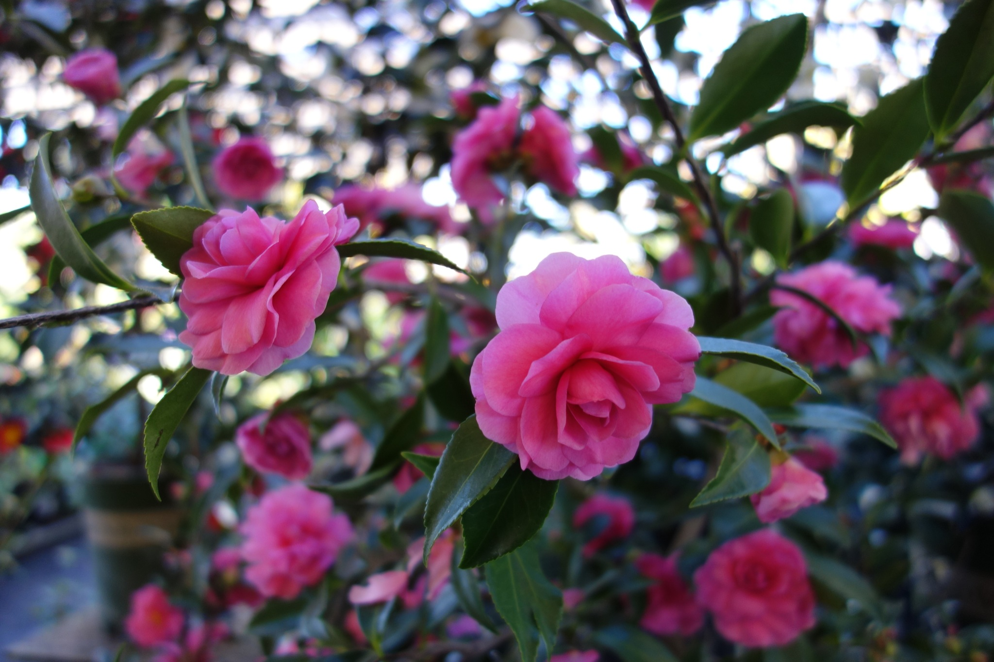 Camellia Chansonette 2 Gardening Tips For The Santa Cruz
