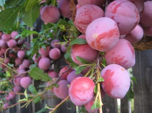 plums_on_the_tree