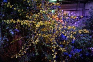 ribes_aureum_gracillimum 2
