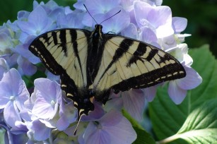 swallowtail_on_hydrangea2
