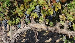 cabernet_sauvignon_grapes.2048