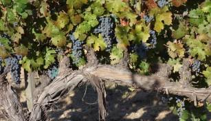 cabernet_sauvignon_grapes.2048