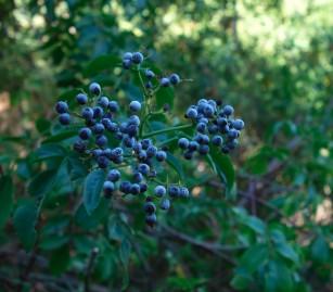 sambucus_nigra_berries