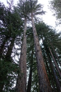 limbed redwoods.1600