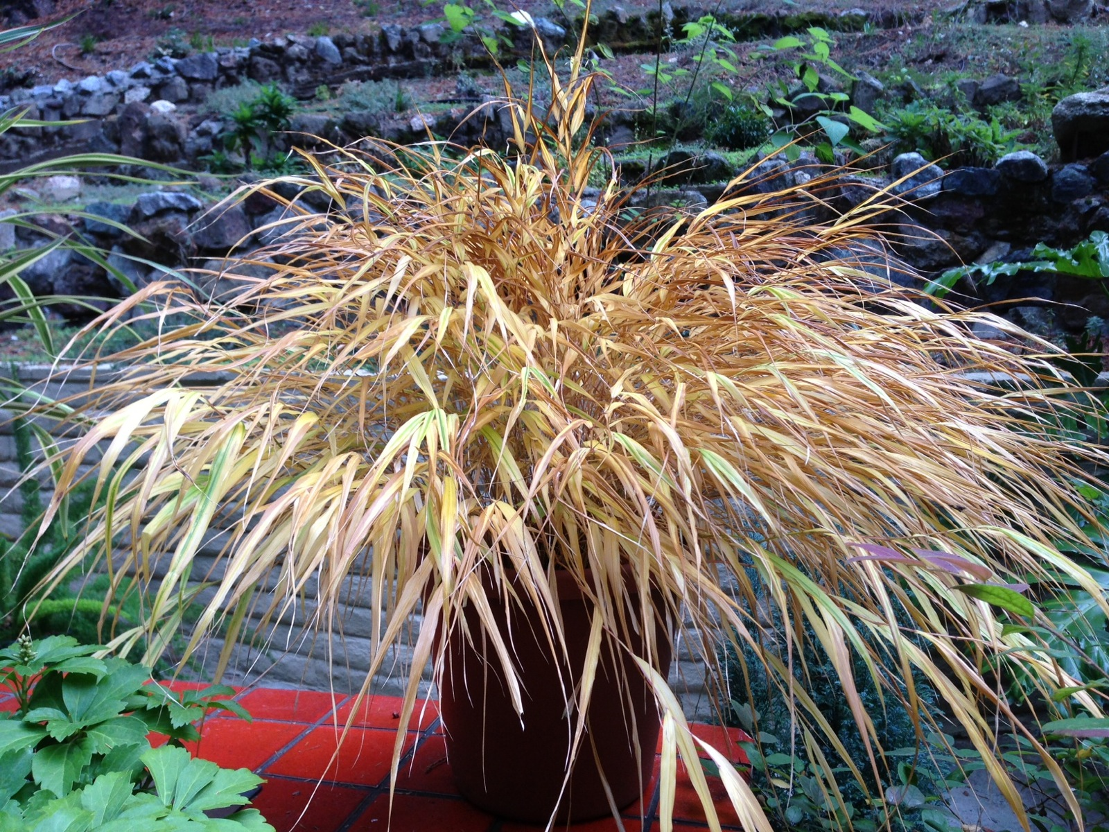 Caring for ornamental grasses gardening tips for the santa cruz fountain grass you hakonechloawinter1600 can prune workwithnaturefo