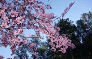 flowering_plum.1024