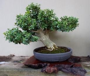 boxwood_bonsai