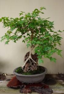 maple_bonsai