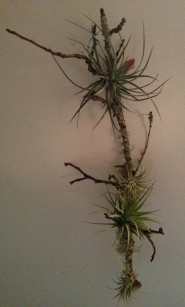 tillandsia_on_apple_branch