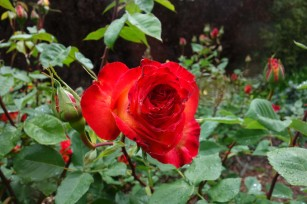 Perfect_Moment_rose