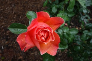 The_Mystery_Rose