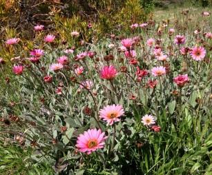 daisy-like flowers_UCSC_arboretum
