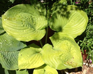 hosta_Sum_and_Substance