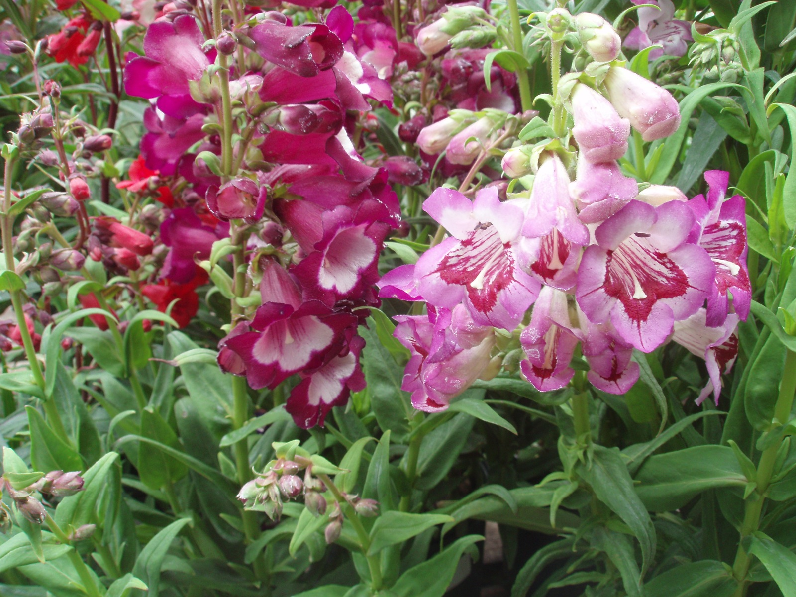 Пенстемон цветы фото и выращивание