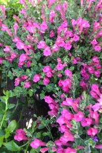 scutellaria_suffrutescens