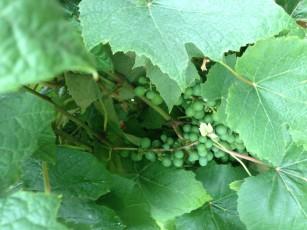 grape_cluster_green