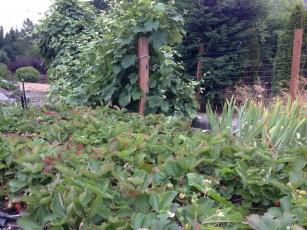 strawberries_grape_vines