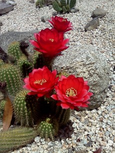 Red_Torch_cactus