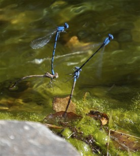 Blue_Damselfly-mating