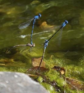 Blue_Damselfly-mating