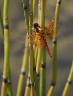Flame_Skimmer_dragonfiy-mating