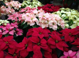 pointsettia_colors.2048