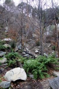 tufted rock ferns.1280