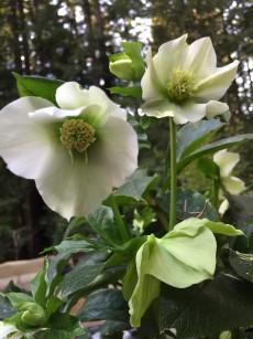 helleborus_orientalis