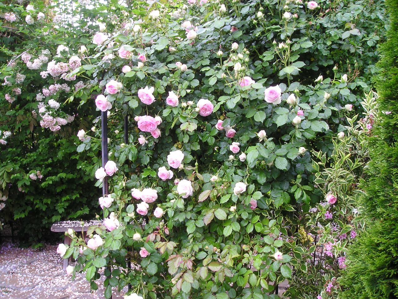 roses gardening tips for the santa cruz mountains. Black Bedroom Furniture Sets. Home Design Ideas