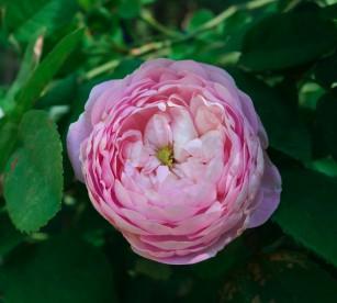 rose_pink_cabbage
