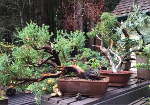 bonsai_collection-Ed