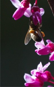honey_bee_pollen_sacs