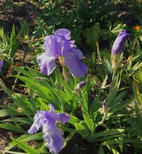 iris_bearded-blue.1920