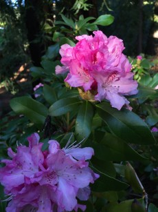 rhodie_early_pink
