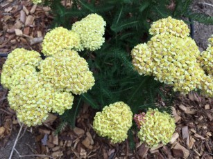 achillea_yellow