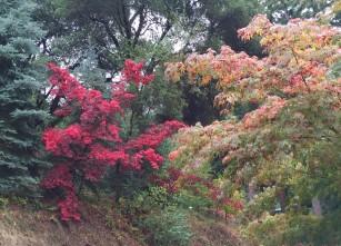 Japanese_maple.1600