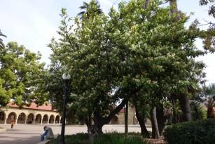 laurel tree.1600