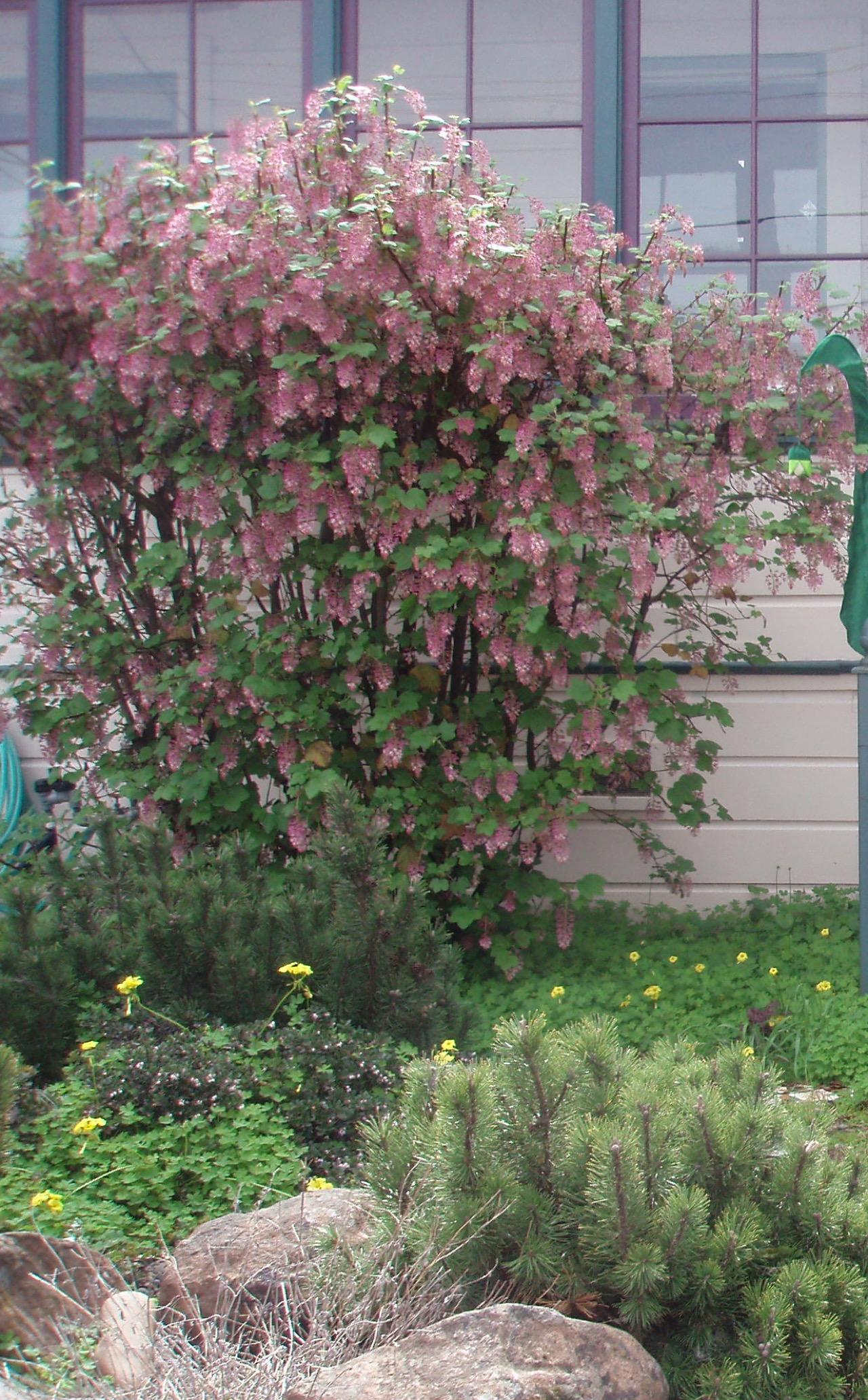 compact shrubs | Gardening Tips for the Santa Cruz Mountains