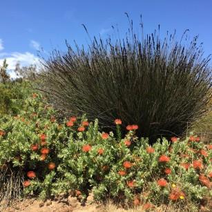 leucospermum_orange-chondropetalum.1600