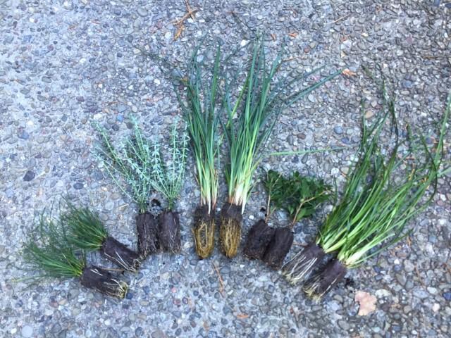 drought tolerant plant plugs