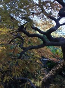Japanese_maple