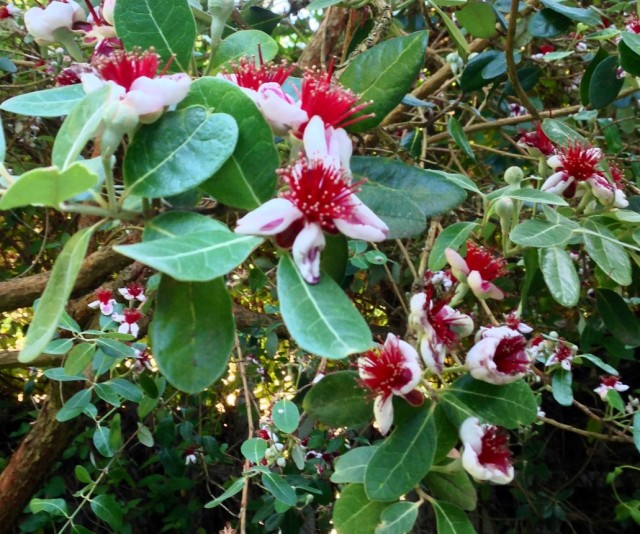 feijoa_sellowiana_flowers