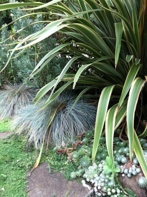 plant_combination-phormium_CreamDelight-blueFescue-sempervivum
