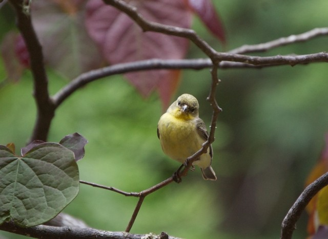 Lesser_Goldfinch
