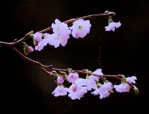 Autumnalis flowering cherry blooming in January