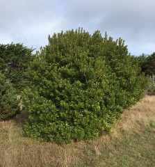 Pacific wax myrtle