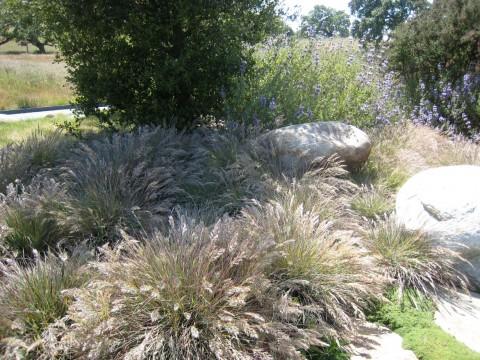 Calamagrostis Foliosa
