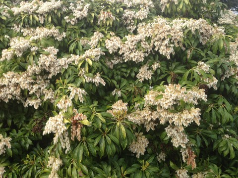 Pieris japonica or Lily-of-the-Valley shrub