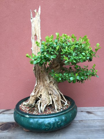 boxwood_bonsai-with-Jin_Shari