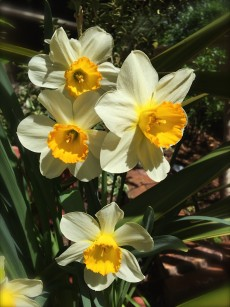 daffodils_gold_cup